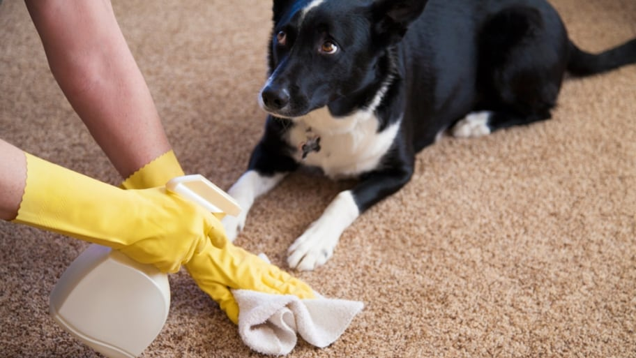 How To Get Dog Poop Out Of The Carpet Heksenwiel